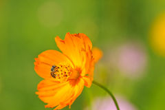 La abeja recoge el néctar de la flor de margarita Imagenes de archivo