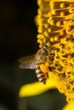 La abeja recoge el néctar de las flores Imagen de archivo