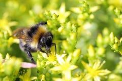 La abeja recoge el néctar de las flores Fotografía de archivo libre de regalías