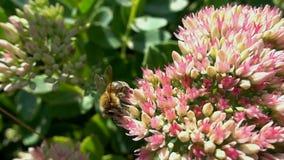 La abeja recoge el néctar de las flores, cámara lenta almacen de metraje de vídeo