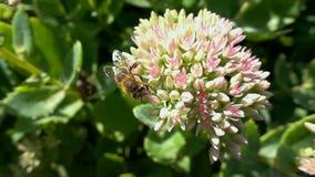 La abeja recoge el néctar de las flores, cámara lenta metrajes