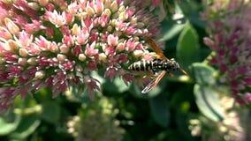 La abeja recoge el néctar de las flores, cámara lenta almacen de video