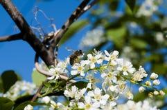 La abeja recoge el néctar de las flores de cerezo del pájaro Fotografía de archivo libre de regalías