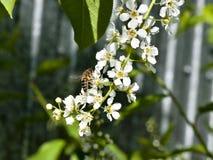 La abeja recoge el néctar de las flores de cerezo del pájaro Imágenes de archivo libres de regalías