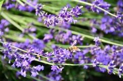 La abeja recoge el néctar de las flores de la lavanda Fotos de archivo libres de regalías