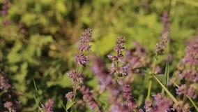 La abeja recoge el néctar de las flores de una púrpura en campo almacen de metraje de vídeo