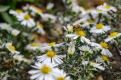 La abeja recoge el néctar de la manzanilla de campo Fotos de archivo libres de regalías