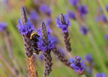 La abeja recoge el n?ctar de una flor azul imagen de archivo libre de regalías