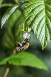 La abeja recoge el néctar de una flor de la frambuesa Fotografía de archivo