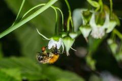 La abeja recoge el néctar de una flor de la frambuesa Imágenes de archivo libres de regalías