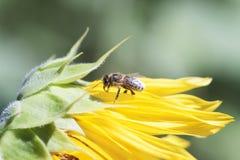 La abeja recoge el néctar de una flor del girasol en vagos borrosos naranja Foto de archivo