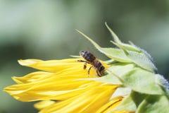 La abeja recoge el néctar de una flor del girasol en vagos borrosos naranja Fotos de archivo libres de regalías