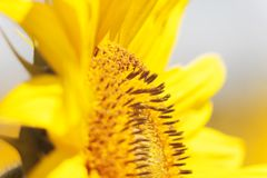 La abeja recoge el néctar de una flor del girasol en vagos borrosos naranja Fotografía de archivo