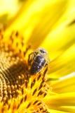 La abeja recoge el néctar de una flor del girasol en vagos borrosos naranja Imagen de archivo libre de regalías