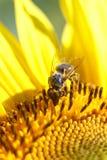 La abeja recoge el néctar de una flor del girasol en vagos borrosos naranja Imagen de archivo