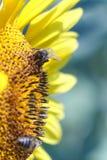 La abeja recoge el néctar de una flor del girasol en vagos borrosos naranja Fotos de archivo