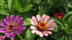 La abeja recoge el néctar de una flor en jardín en la primavera, verano flores coloreadas multi en parque Zinnia hermoso de las f metrajes