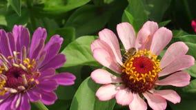 La abeja recoge el néctar de una flor en jardín en la primavera, verano flores coloreadas multi en parque Zinnia hermoso de las f