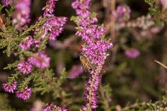 La abeja recoge el néctar de una flor violeta Fotografía de archivo