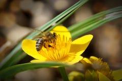 La abeja recoge el néctar de una maravilla de pantano Imagenes de archivo