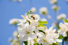 La abeja recoge el néctar del flor de la manzana Foto de archivo