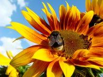 La abeja recoge el néctar del girasol Fotos de archivo