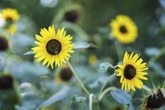 La abeja recoge el néctar del girasol en día de verano brillante Foto de archivo libre de regalías