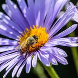 La abeja recoge el néctar en el brote amarillo Imagen de archivo