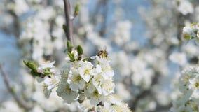 La abeja recoge el néctar en la cámara lenta del día soleado hermoso de las flores frescas almacen de metraje de vídeo