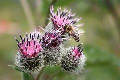 La abeja recoge el néctar en cardo Foto de archivo
