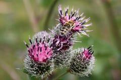 La abeja recoge el néctar en cardo Fotos de archivo