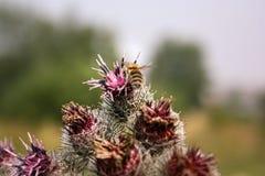La abeja recoge el néctar en cardo Foto de archivo libre de regalías