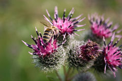 La abeja recoge el néctar en cardo Imagen de archivo libre de regalías