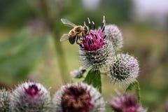 La abeja recoge el néctar en cardo Fotografía de archivo libre de regalías