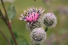 La abeja recoge el néctar en cardo Imágenes de archivo libres de regalías