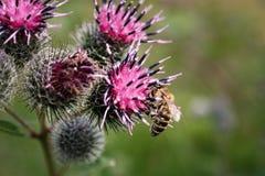 La abeja recoge el néctar en cardo Fotografía de archivo