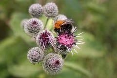 La abeja recoge el néctar en cardo Imagen de archivo