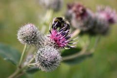 La abeja recoge el néctar en cardo Imagenes de archivo
