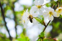 La abeja recoge el néctar en la flor Foto de archivo