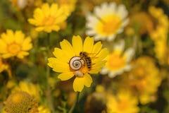 La abeja recoge el néctar en la flor Foto de archivo libre de regalías