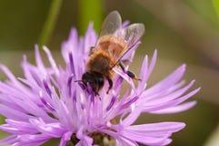 La abeja recoge el néctar en galicicae de un Centaurea Fotos de archivo libres de regalías