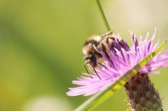 La abeja recoge el néctar en galicicae de un Centaurea Fotos de archivo