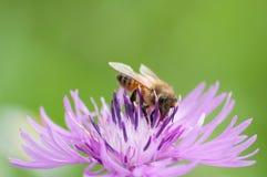La abeja recoge el néctar en galicicae de un Centaurea Imagen de archivo