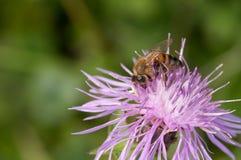 La abeja recoge el néctar en galicicae de un Centaurea Foto de archivo libre de regalías