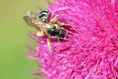 La abeja recoge el néctar en la flor púrpura Foto de archivo
