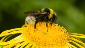 La abeja recoge el néctar en la macro amarilla de la flor, DOF bajo, foco selectivo Fotos de archivo libres de regalías