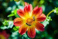 La abeja recoge el néctar en las dalias hermosas de la flor abstraiga el fondo Espacio en el fondo para la copia, texto, sus pala Imagen de archivo