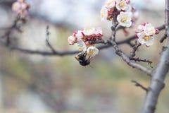 La abeja recoge el néctar en las flores Foto de archivo libre de regalías