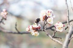 La abeja recoge el néctar en las flores Fotos de archivo libres de regalías