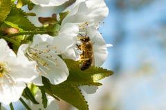 La abeja recoge el néctar en las flores Fotografía de archivo libre de regalías